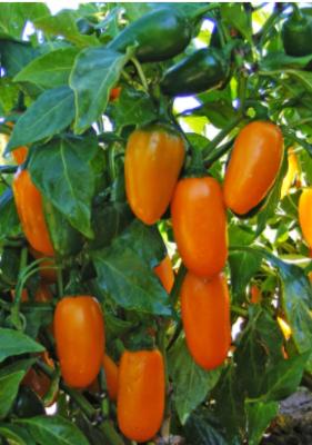 NuMex Pumpkin Spice