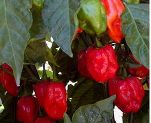 Red Caribbean Habanero
