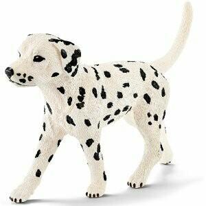 Dalmatien mâle