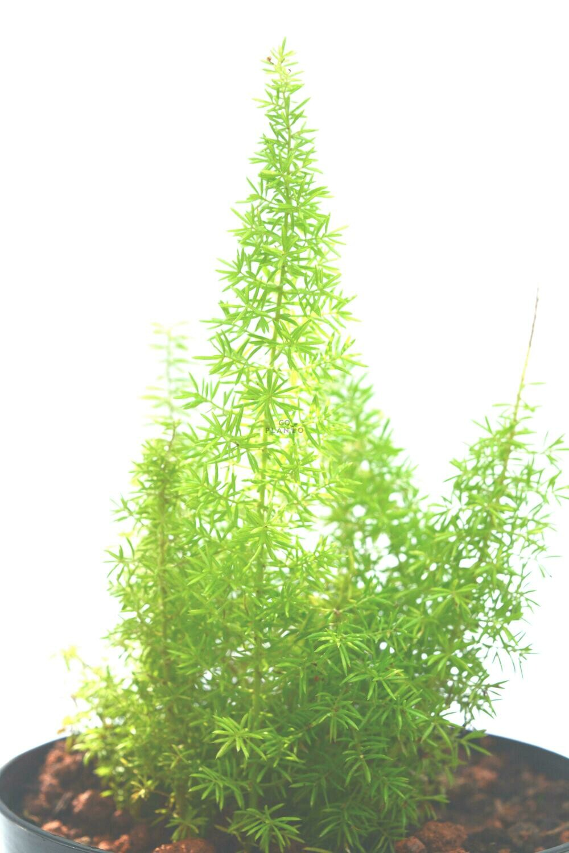 Aspragus Fern