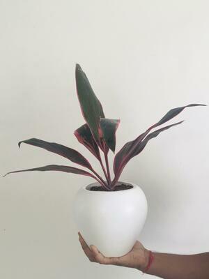 "Dracaena Mahatma Plant - Cordyline Terminalis in Apple Pot 6"""