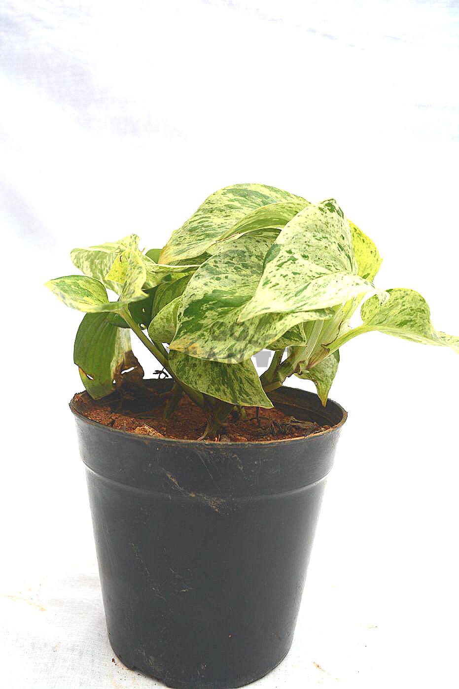 Money Plant Varigated (S)