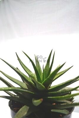 Aloe Dwarf