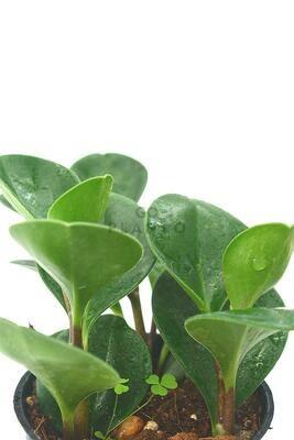 Peperomia Obtusifolia (Baby Rubber Plant)