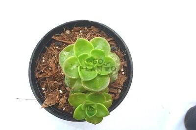 Echeveria Green