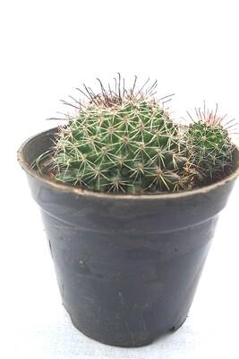 Pin Cushion Cactus