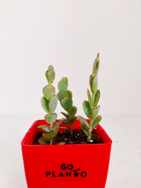 Kalanchoe Marnieriana in Blossom Pot
