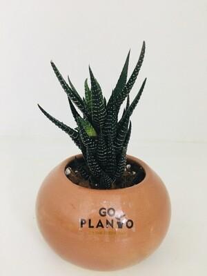 Haworthia Reinwardtii in Round Succulent Pot