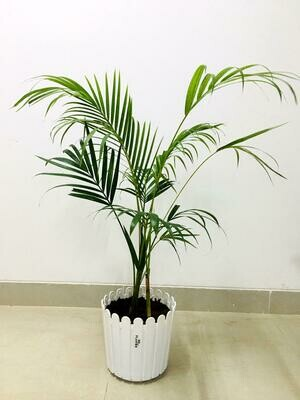 Areca Palm in Fence Round Pot
