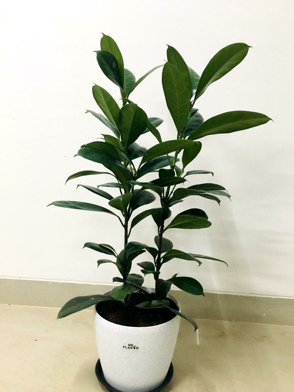 Ficus Green Rubber Plant  in Deca Round Pot with tray