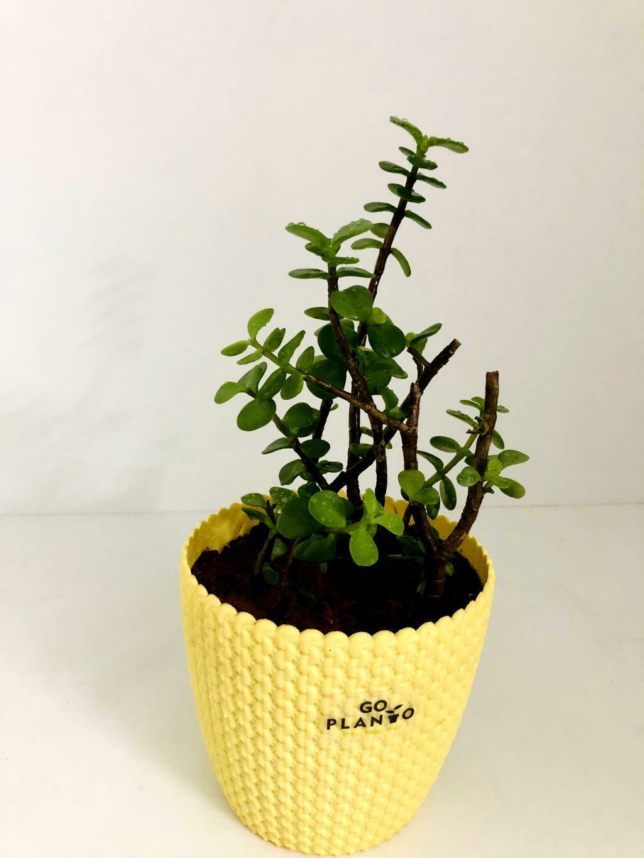 """Jade Plant in 5.5"""" Capri Round Pot"""