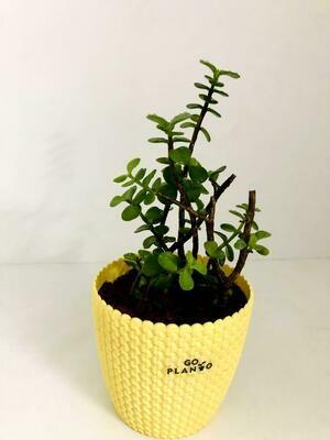 Jade Plant in Capri Round Pot