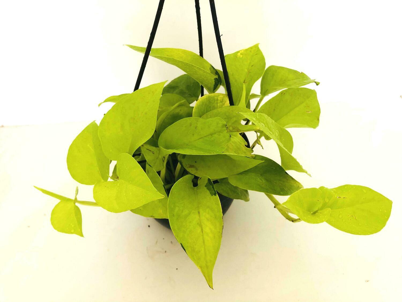 Money Plant Golden in Hanging Basket