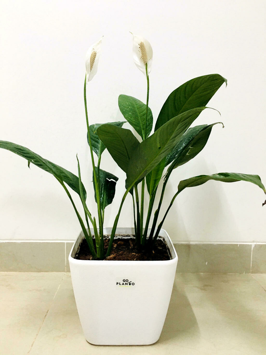 """Peace Lily, Spathiphyllum Indoor Air Purify Plant in Daisy Square 9"""" Pot- 1 Feet Height"""
