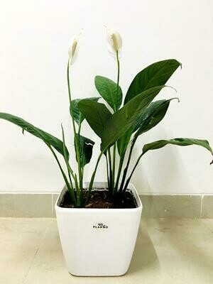 Peace Lily, Spathiphyllum Indoor Air Purify Plant in Daisy Square Pot
