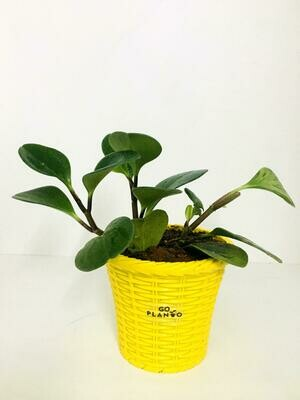Peperomia Green Plant in Crystal Basket Pot