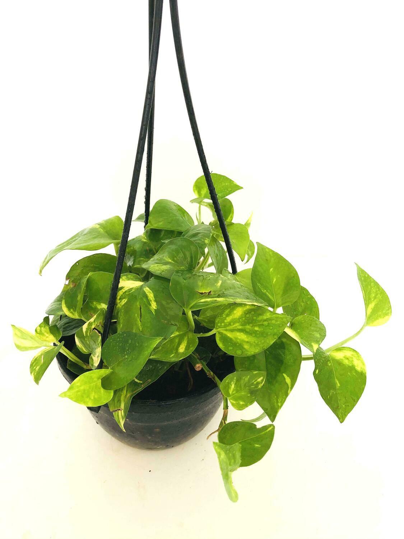 "Money Plant Robusta in 7"" Nursery Hanging Basket"