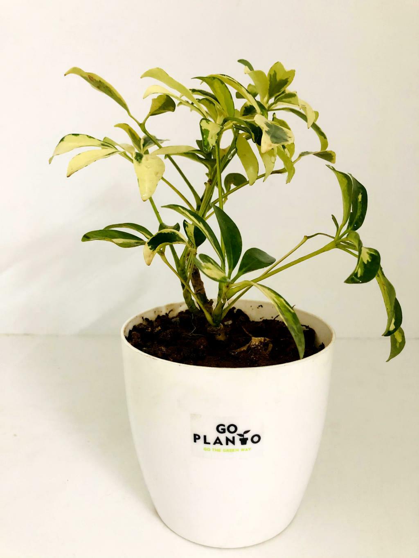 """Saflora in 5.5"""" Plastic Round Pot"""