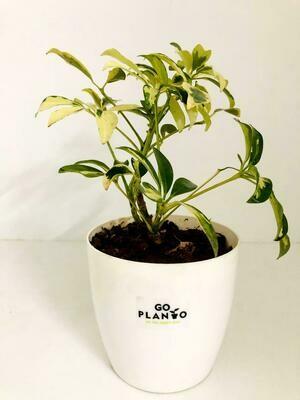 Saflora in Plastic Round Pot