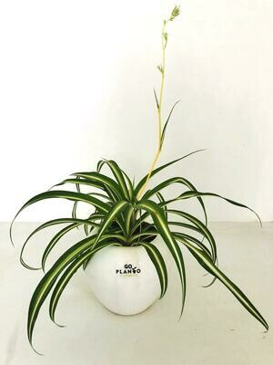Spider Plant in Apple Pot
