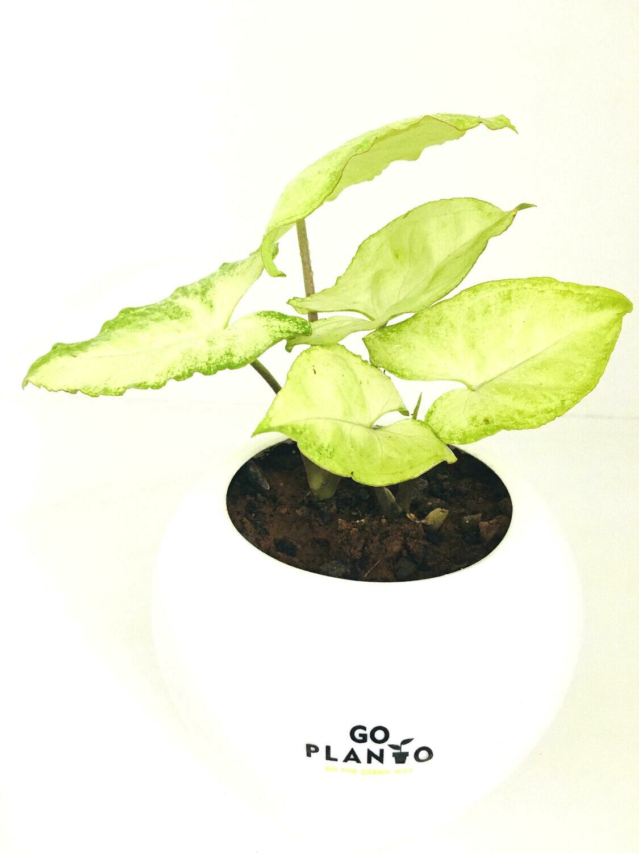 "Syngonium Green in 6"" Apple Pot"