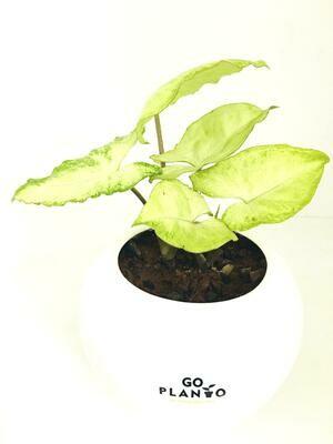 Syngonium Green in Apple Pot