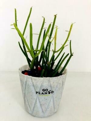 Pencil Cactus in Solitaire Round Pot