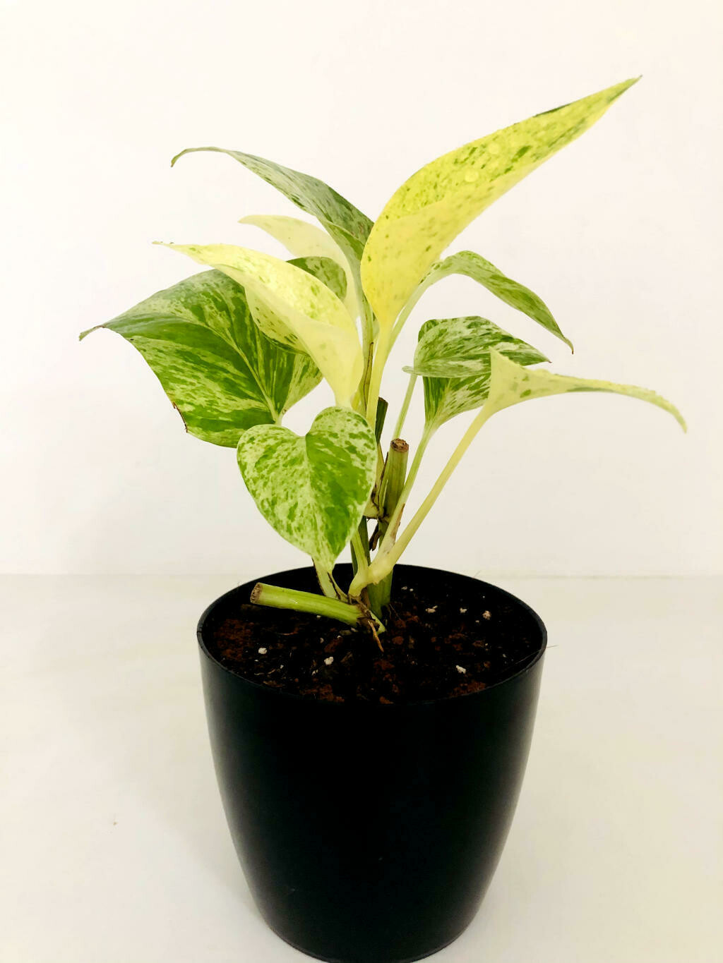 Money Plant Variegated in Valencia Round Pot
