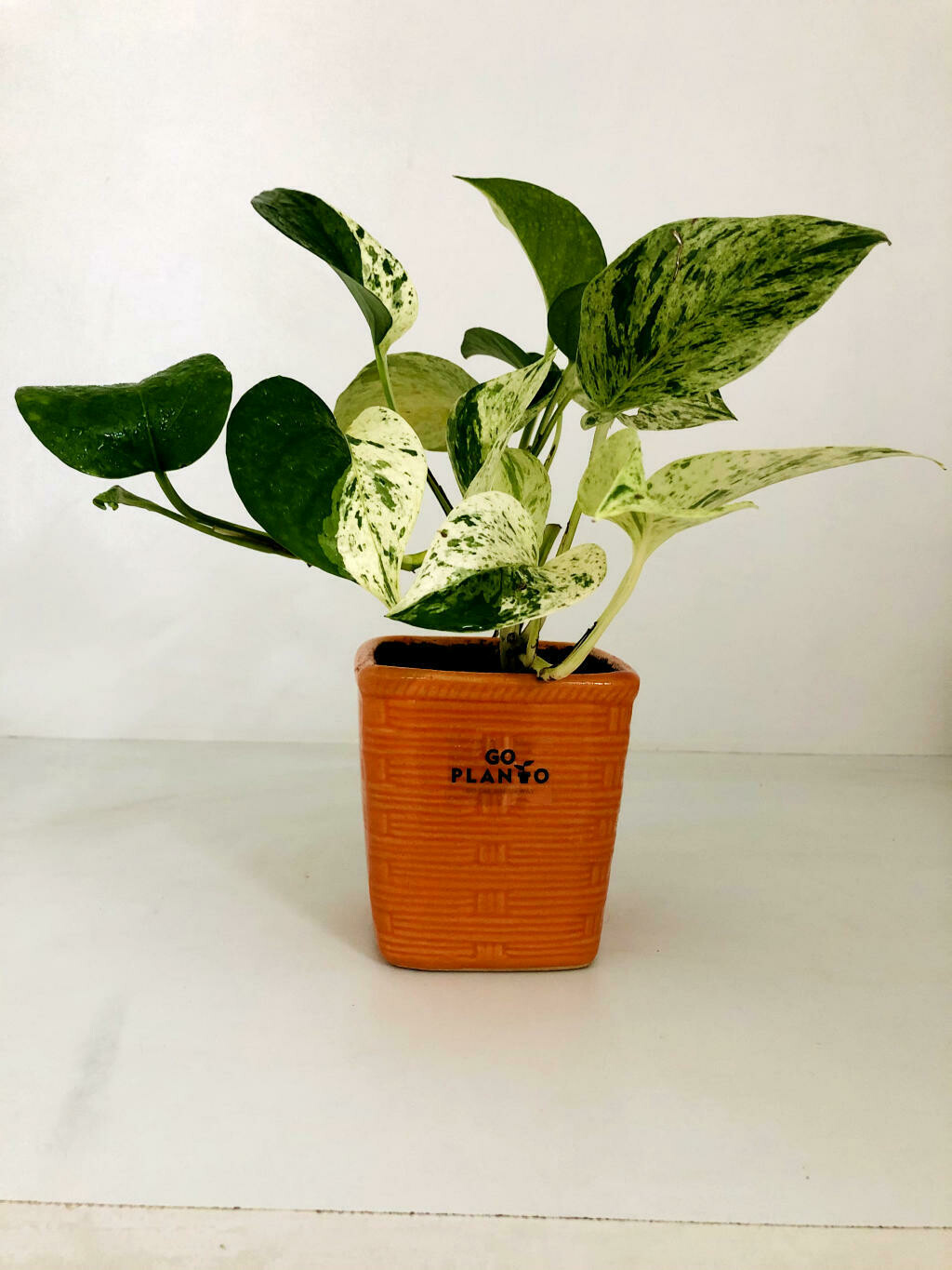 Money Plant Varigated in Sqaure Bamboo Pot