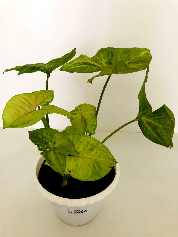 "Syngonium Green in 5.5"" Flower Pot"