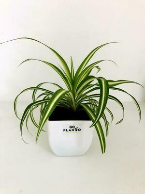 Spider Plant in Daisy Square Plastic Pot