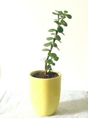 Jade Plant Small Leaf in Coffee Cup