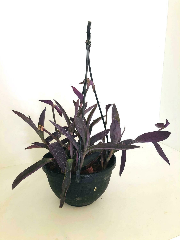 """Purple Heart Plant in 7"""" Nursery Hanging Basket"""