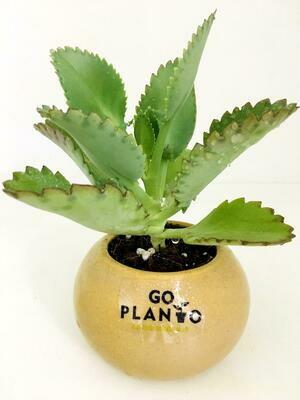 Kalanchoe Pinnata in Round Succulent Pot