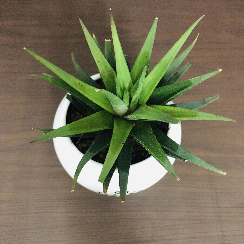 Haworthia Angustifolia Succulent in Apple Ceramic Pot With Saucer