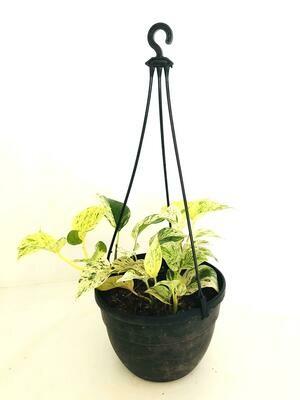 Money Plant Variegated in Hanging Basket