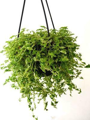 Turtle Vine in Hanging Basket