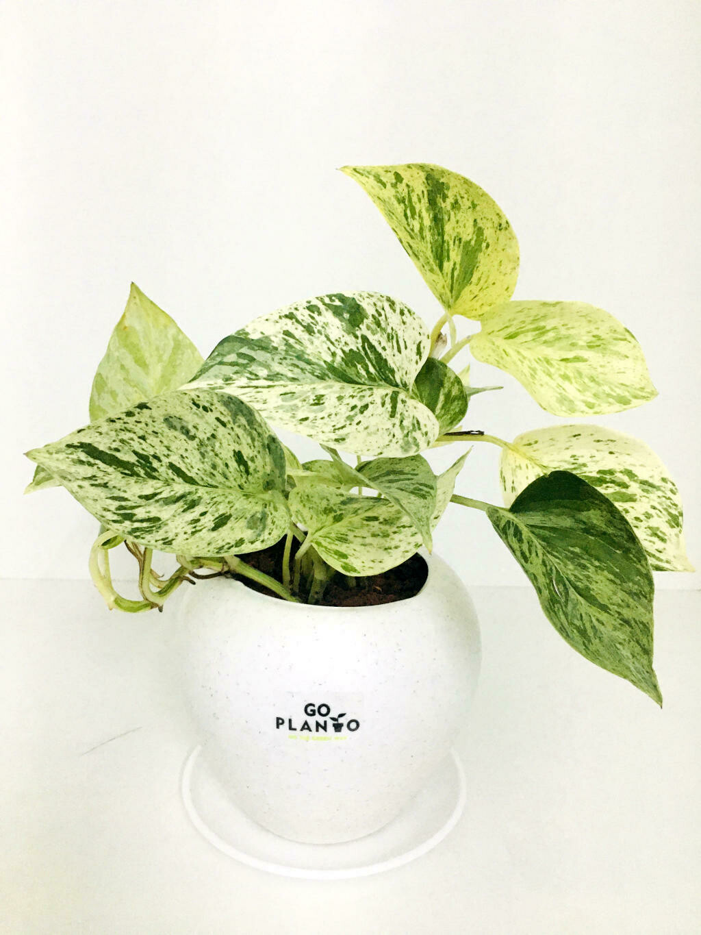 Money Plant Marble Queen in Apple Pot with Saucer