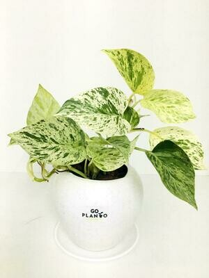 Money Plant Variegated in Apple Pot with plate