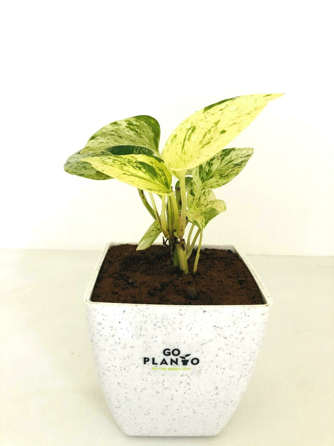 """Money Plant Marble Queen in Square 5"""" Pot"""