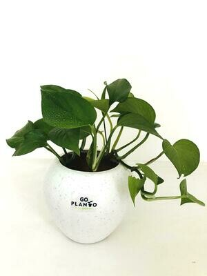 Money Plant Green in Apple Pot with Tray