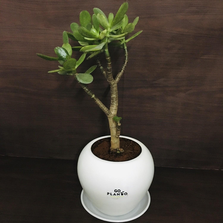 "Jade Plant Big leaf in Apple Pot 6"" with Saucer"