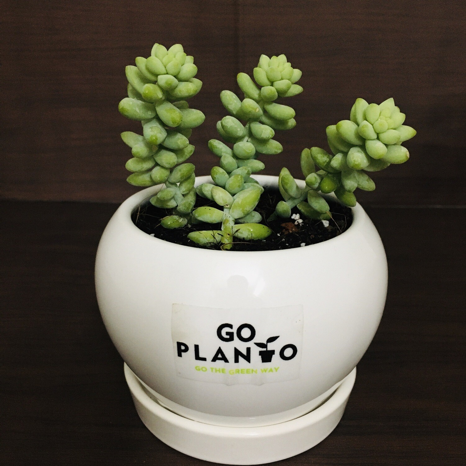 Burro's Tail in Apple Ceramic With Saucer