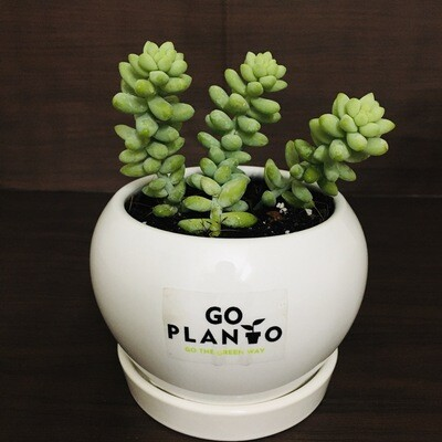 Burro's Tail in Apple Ceramic With Plate