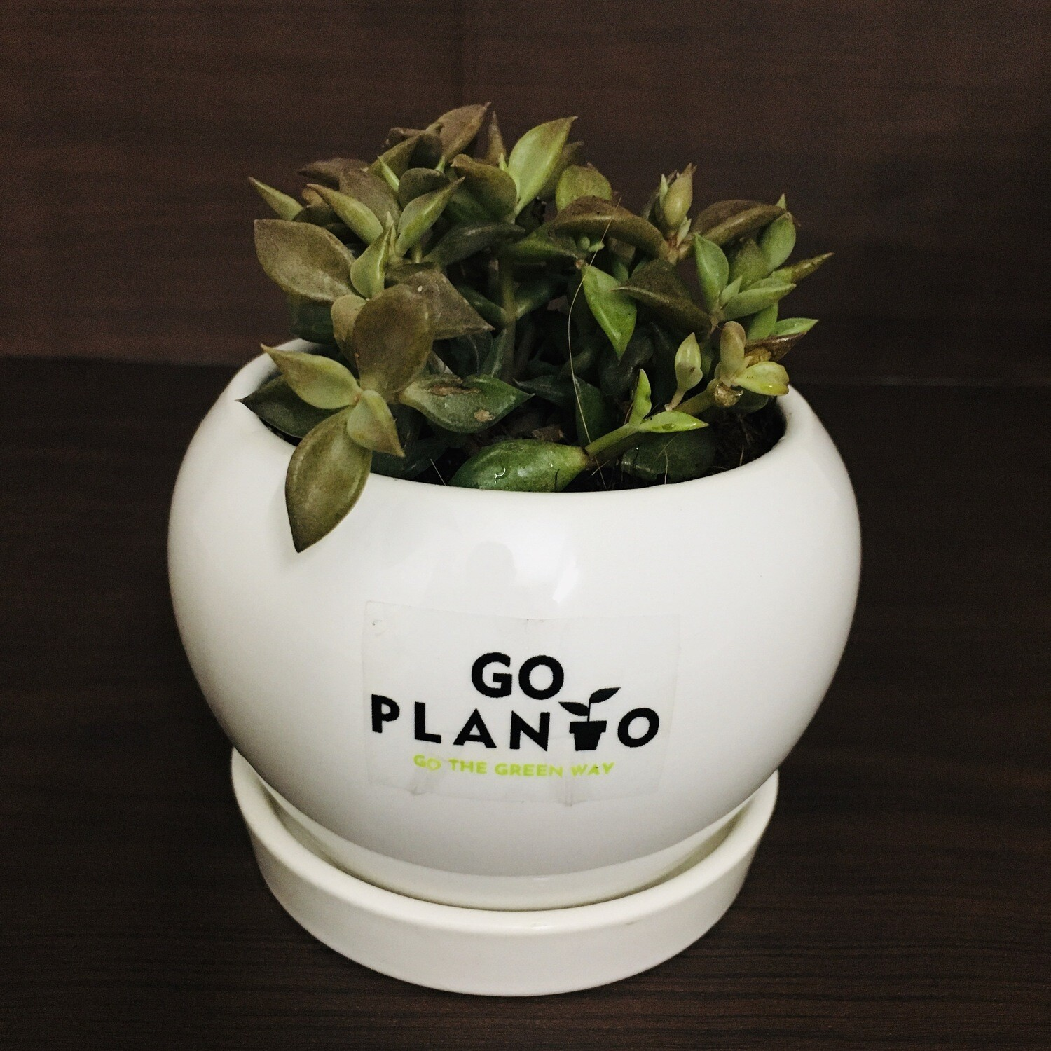 Leafy Succulent in Apple Ceramic With Saucer