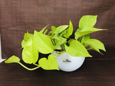 Money Plant Golden in Euro White Hanging Pot 7