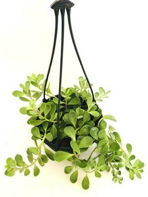 Kleinia Petraea Hanging Basket