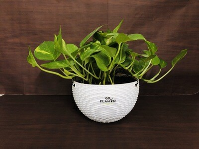 Money Plant Robusta in Euro Hanging Pot 7