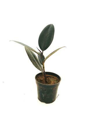 "Ficus Elastica - Rubber Plant Black in 4"" Nursery Pot"