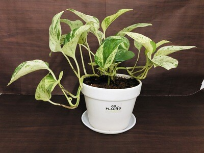 Money Plant Variegated in Traditional Ceramic White Pot 6